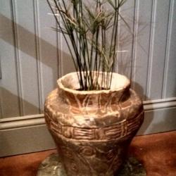 Dwarf umbrella or papyrus plants