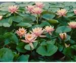 colorado-water-lily