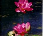 hardy-lotus