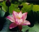 tulip-lotus